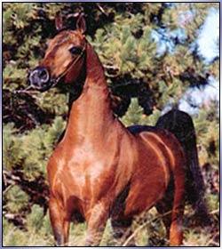 Arabian Stallions of Cargile Arabians in Oklahoma ... | 250 x 280 jpeg 20kB